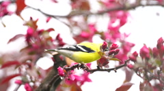 Goldfinch sitting on tree branch with pink flowers - stock footage