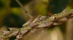 4K Oak Treehoppers (Platycotis vittata) Stock Footage