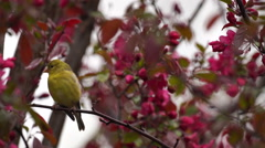 Palm Warbler sitting on tree branch with pink flowers Stock Footage