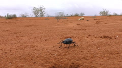 Black beetle on red desert sand looking for a shelter from rain Stock Footage