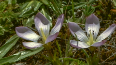 Two gentian flowers (Gentiana cerastoides) on the windswept paramo near Cotopaxi Stock Footage