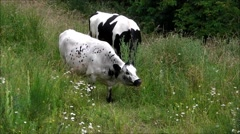 A British White cow grazing in long grass. Stock Footage