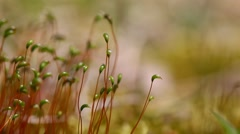 A close up of Moss capsules with shallow depth of field and sounds of Nature Stock Footage