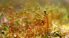 A close up of Moss capsules with sounds of Nature and shallow depth of field.  Stock Footage