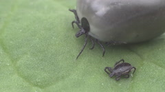 Wood tick crawling on a leaf Stock Footage