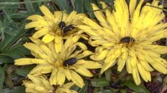 Beetles feeding on the pollen of some paramo flower, Ecuador Stock Footage