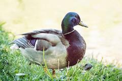 Mallard duck - Anas platyrhynchos - on the lake shore, bird scene Stock Photos