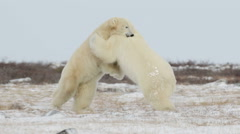 Polar bears sparring in the snow - stock footage