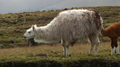 Herd of llamas on the windswept paramo  Stock Footage
