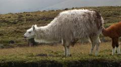 Herd of llamas on the windswept paramo  - stock footage