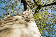 Massive American sycamore tree, seasonal natural scene Stock Photos
