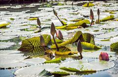 Beautiful water lilies in the garden pond, seasonal natural scene - stock photo