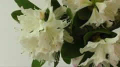 White rhododendron flowers isolated on white design element. Stock Footage