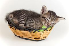 gray tabby kitten sleeping in a little basket - stock photo