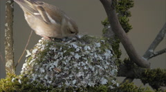 Female of common chaffinch (Fringilla coelebs) entering nest from left Stock Footage