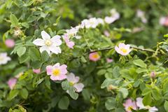 Wild rose blooming - stock photo