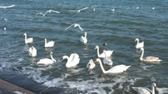 White swans in the sea Stock Footage