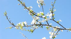 Flowered branch Stock Footage
