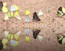 Group of  butterfly with water reflection Stock Photos
