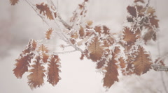 Snow falls on the leaves of the tree. Vignette color - stock footage