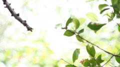 The Bird Asian brown flycatcher (Muscicapa latirostris) standing on branch Stock Footage