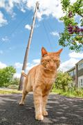 Handsome red tabby cat defending his territory Stock Photos