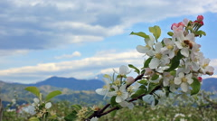 Honey bee pollinating an apple-tree in early spring. Stock Footage