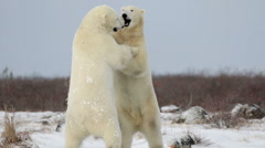 Polar bears fighting sparring in the snow Stock Footage
