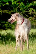 Water soaked borzoi Stock Photos