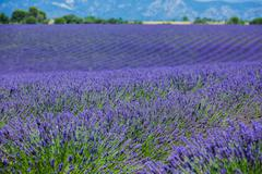 Lavanda fields. Provence Stock Photos