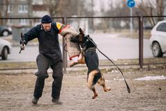 German shepherd dog training. Biting dog. Alsatian Wolf Dog. Deu - stock photo