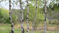 Trunks of young birches in the spring Stock Footage