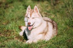 Young Happy Husky Eskimo Dog Sitting In Green Grass Park. Puppy - stock photo