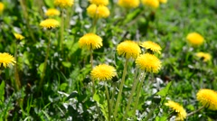 Glade of yellow dandelions in wind Stock Footage