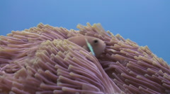 Anemones and clown fish. Close Up Shot. Maldives. - stock footage