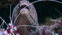 Moray and cleaner shrimp. Close Up Shot. Maldives. Stock Footage