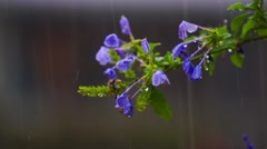 Beautiful purple Ruellia flowers during a rain storm short depth of field Stock Footage