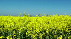 Beautiful Yellow Flowers Of Rapeseed Fields - stock footage