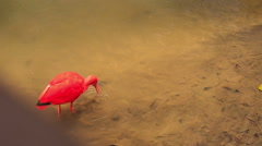 Closeup Bright Scarlet Ibis Walks in Shallow Water Stock Footage