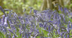 Macro Closeup Shot Of Spring Bluebells In Full Bloom. Filmed In 4K Resolution - stock footage