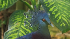 Closeup Blue Dove Head with Fluffy Crest against Plant Stock Footage