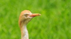 Closeup Small Orange Cattle Egret Turn Head in Park Stock Footage