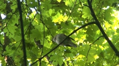Nightingale singing on a branch. - stock footage