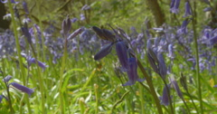 Macro Closeup Shot Of Spring Bluebells In Full Bloom. Filmed In 4K Resolution Stock Footage