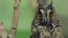 Close-up of an owl looking at the camera and around, green key Stock Footage