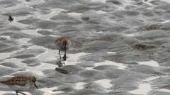 Shorebirds, Birds, Flock, Beach, Wade, Feed - stock footage