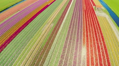 Take off and aerial view of multicolor tulips field Stock Footage