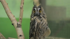 Close-up of an owl looking at the camera and around, green key 3 Stock Footage