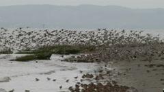 Shorebirds, Birds, Flock, Fly, Flight, Flying - stock footage