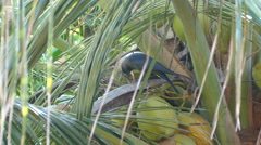 Crow eating food in a palmtree Stock Footage